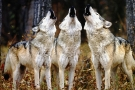 How Wolves Change Rivers (Video)