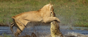 Lioness Protects Her Cubs From Crocodile (Photo Gallery)