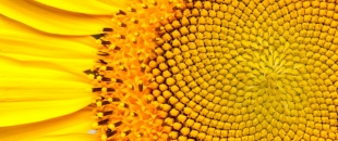 The Fibonacci Sequence: Nature by Numbers (Video)