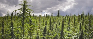 5 Uses of Hemp That Show Why It Should Be Legalized Immediately