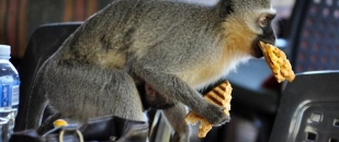 Funny Animals Stealing Food From People Compilation (Video)