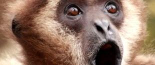 Gibbon Monkey Trolls Two Tigers (Video)