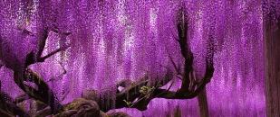 Ashikaga Flower Park: Home to the Most Beautiful Tree in the World (Ashikaga, Japan)