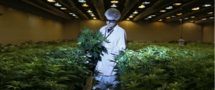 Growing 3,000 Pounds of Medical Cannabis, Step by Step Photo Gallery